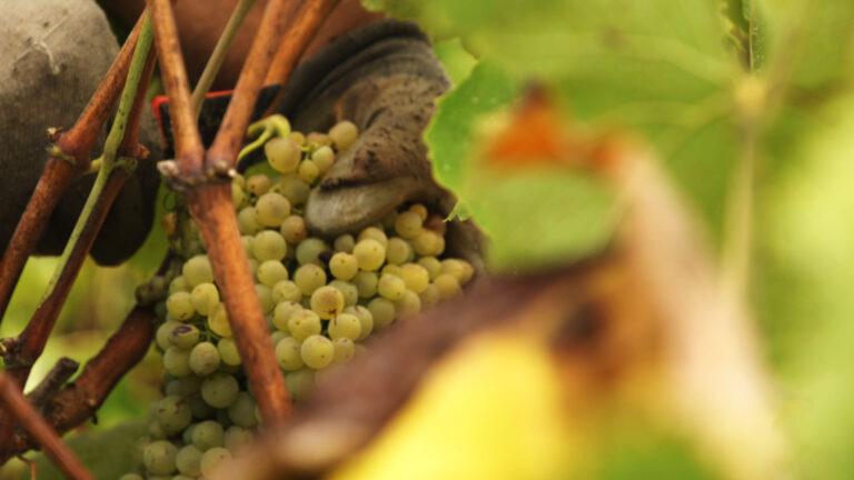 ¿Cuándo empezamos a plantar viña en el Penedès?